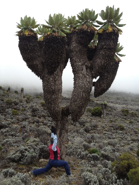 Jenny in High Lunge (Ashwa Sanchalanasana) amid the Giant Sencios (Dendrosenecio kilimanjari) in the Barranco Valley on Mount Kilimanjaro, elevation 13,231 feet above sea level (Photo by Ian Hatter).